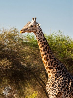 Naklejka Żyrafy w Tsavo East National Park, Kenia