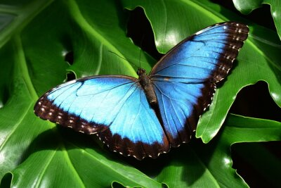 Obraz A pretty blue morpho butterfly lands in the butterfly gardens.