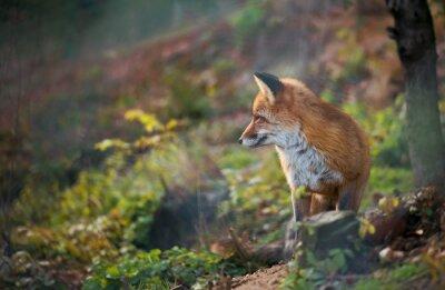 Obraz A red fox słuchania czegoś
