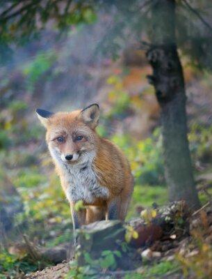 Obraz A red fox w lesie jesienią