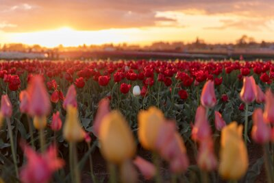 Obraz A single white tulip in a field of red tulips at sunset