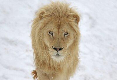 Obraz A White Lion (Panterha leo krugeri) staring at the camera.