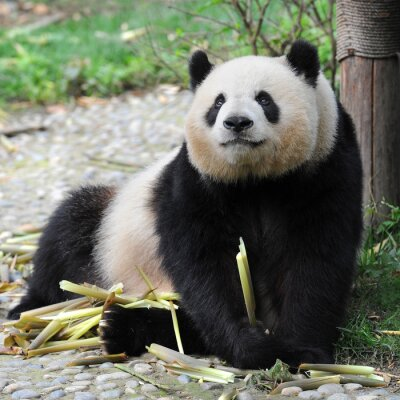 Obraz Adult giant panda bear