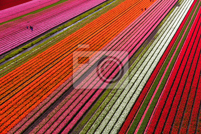 Obraz Aerial view of the tulip fields in North Holland , The Netherlands