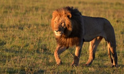 Obraz African Lion