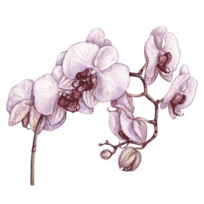 Obraz Akwarela oddział orchidea.