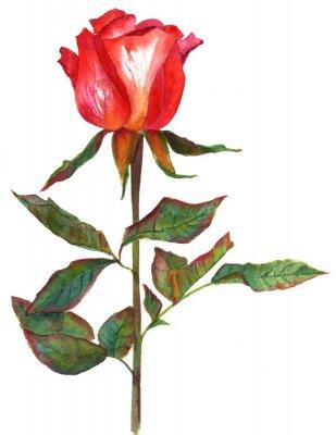 Obraz Akwarele stylu vintage rysunek jasne czerwona róża, odizolowanych