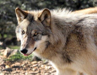 Obraz Alaskan Gray Wolf Portret