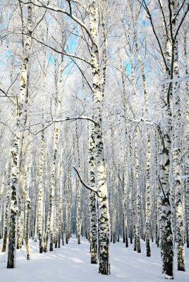 Obraz Aleja w zimowym lesie brzozy