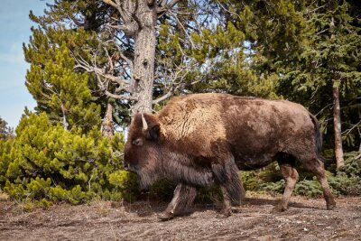 American bison cow in Yellowstone National Park, USA.