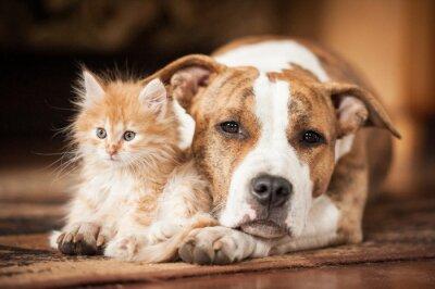 Obraz American staffordshire terrier pies z małego kotka