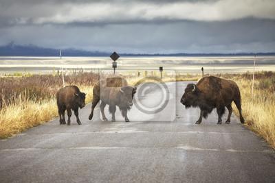 Amerykańska żubr rodzina krzyżuje drogę w Uroczystym Teton parku narodowym, Wyoming, usa.