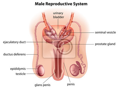 Miehen Anatomia
