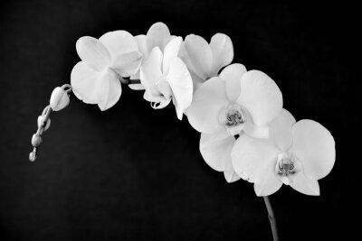 Obraz Aphrodite Phalaenopsis orchidea, w czerni i bieli