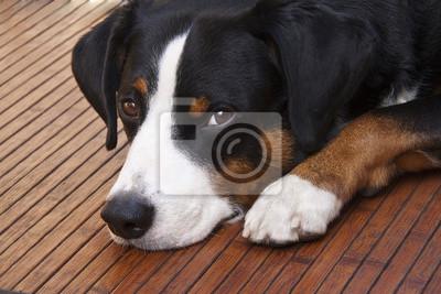 Obraz Appenzeller pies leżącej