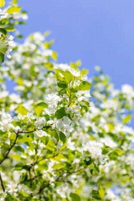 Obraz Apple tree flowers on sunny spring day.