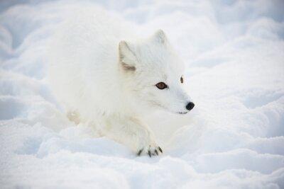 Obraz Arctic Fox