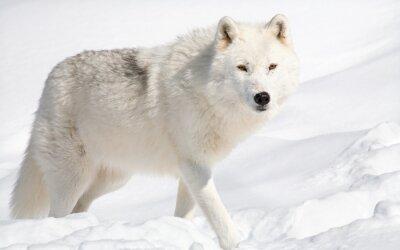 Obraz Arctic Wolf w śniegu Patrząc na kamery