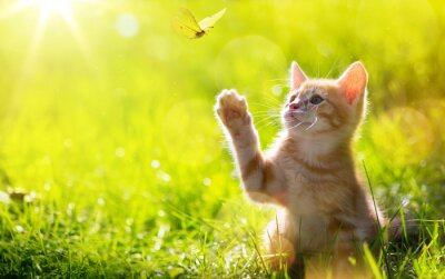Obraz art Young cat / kitten hunting a butterfly with Back Lit