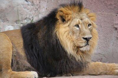 Obraz Asiatischer Löwe (Panthera leo persica)
