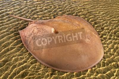 Atlantic horseshoe crab on natural background