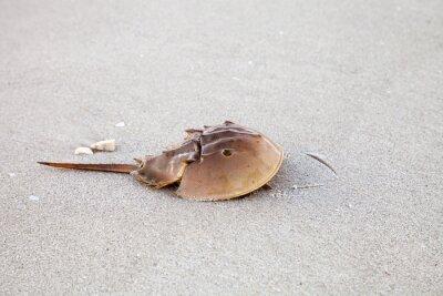 Atlantic Horseshoe kraba Limulus polyphemus spacery wzdłuż białego piasku
