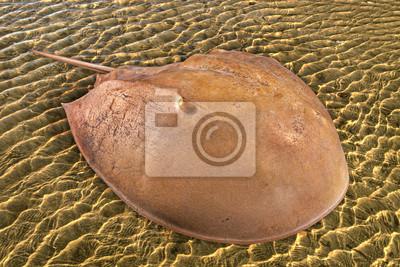 Obraz Atlantic podkowa krab na morskim tle.