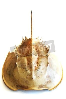 Atlantycki podkowa krab odizolowywający na białym tle
