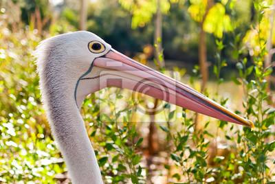 Australijski pelikan w dzikiej przyrody
