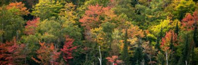 Obraz Autumn forest. Deciduous forest in autumn and on maple trees, the color of the foliage changes to yellow and orange