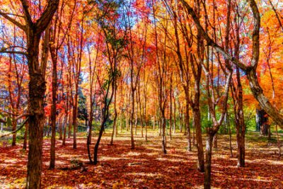 Obraz Autumn landscape of red leaves in Nanhu Park, Changchun, China