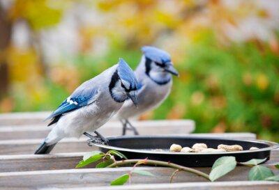 Obraz Backyard Bluejays