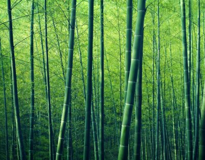 Obraz Bamboo Forest Drzewa Natura Koncept