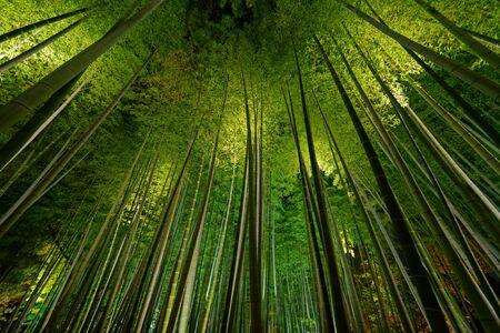 Obraz Bamboo grove, bamboo forest in Arashiyama, Kyoto, Japan