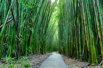 Obraz Bambus las