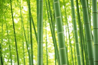 Obraz Bambus lesie
