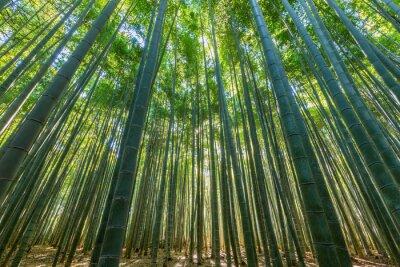 Obraz Bambus lesie, naturalne zielone tło.