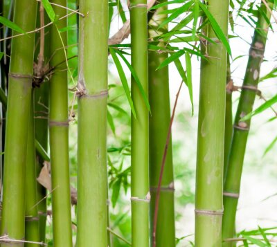 Obraz Bambus tle lasu