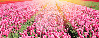 Obraz Banner with big field of pink tulips