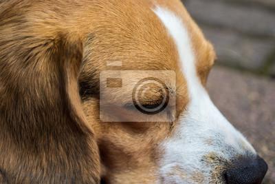 Beagle spania