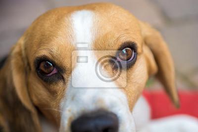 Beagle w pobliżu