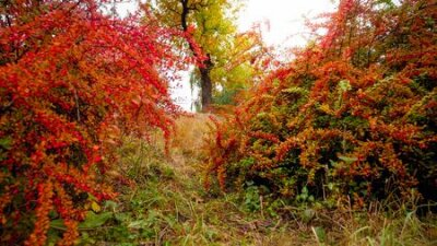 Obraz Beautfiul image of red and orange barberry bushes growing at autumn park