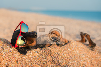 Obraz beautiful dog of dachshund, black and tan, buried in the sand at the beach sea on summer vacation holidays, wearing red sunglasses