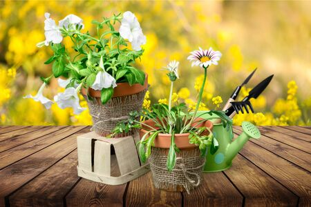 Obraz Beautiful pink primula in flowerpots and gardening tools, isolated on white