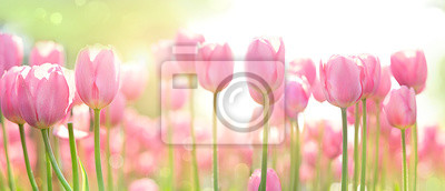 Obraz beautiful pink Tulip on blurred spring sunny background. bright pink tulip flower background for spring or love concept. beautiful natural spring scene, texture for design, copy space. banner