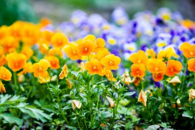 Obraz Beautiful spring pansy seasonal ornamental flowers in the garden. Viola, violet plants.