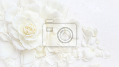 Obraz Beautiful white rose and petals on white background. Ideal for greeting cards for wedding, birthday, Valentine's Day, Mother's Day