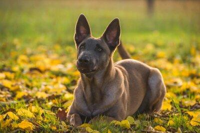 Obraz Belgijski Malinois pies żółtych liści jesienią