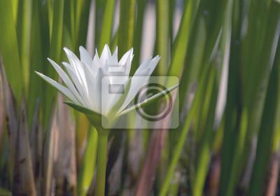 Obraz Biała lilia wodna