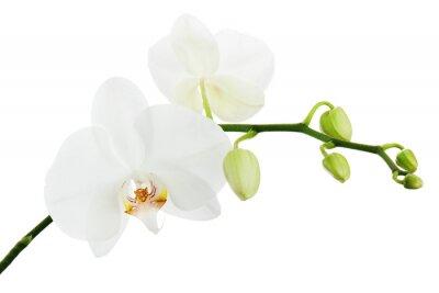 Obraz Biała orchidea na białym tle.